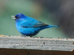 Indigo Bunting - picture by Mary Bryan